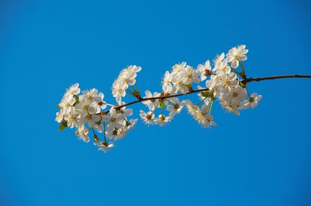 Branch of a blossoming cherry on a background of the blue sky Stock Photo