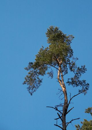 Pine on a background of the blue sky