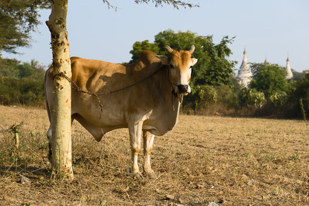 bos: Zebu (Bos primigenius indicus), Bagan, Mandalay Division, Myanmar Stock Photo