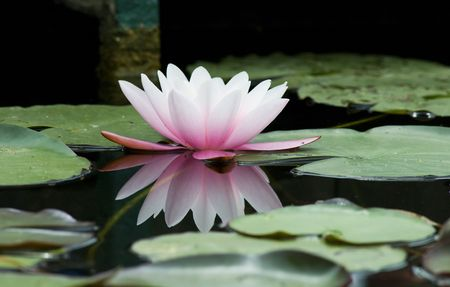 loto: water lily in the lake
