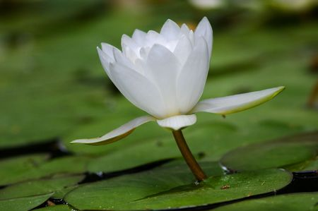loto: water lily on the lake surface