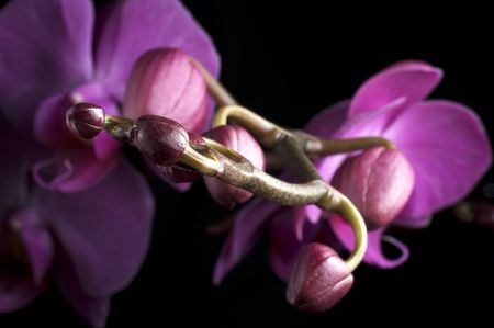 colore: picture of pink orchid on black background Stock Photo