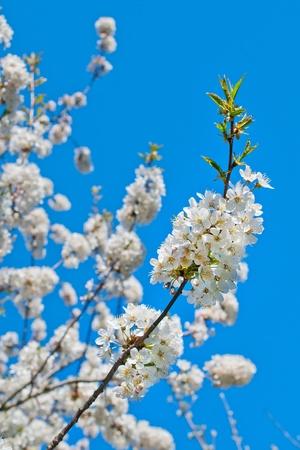 Blooming apple tree in garden photo