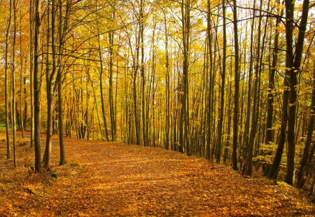 autumn path: Path in forest - autumn