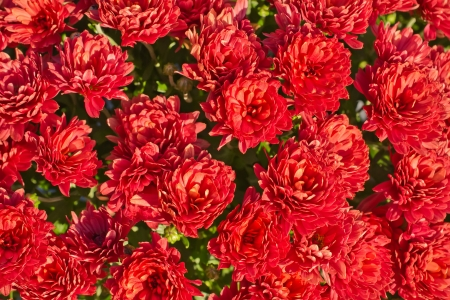 Red Flowers Texture Background Stock Photo - 18429791