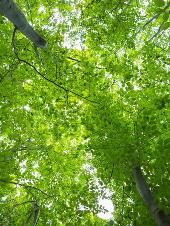 tree canopy: Tree canopy - green summer forest Stock Photo