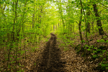 spring landscape: Spring path in forest