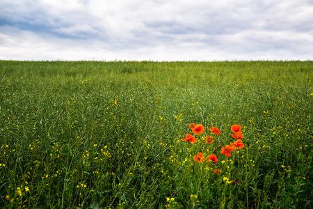 oilseed rape: Rape Field with red poppy