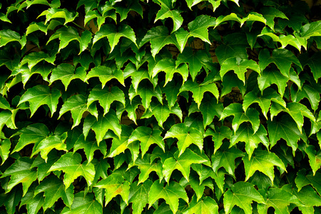 Ivy wall, fresh green leaves 免版税图像