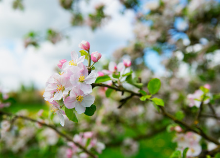 Spring apple tree, blossom