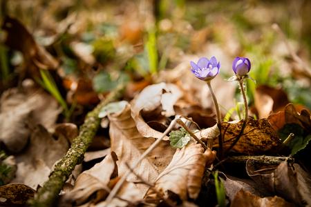 liverwort: First spring wild flowers bloom in woods, Hepatica nobilis - liverwort, hepatic