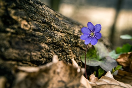 First spring wild flowers bloom in woods, Hepatica nobilis - liverwort, hepatic