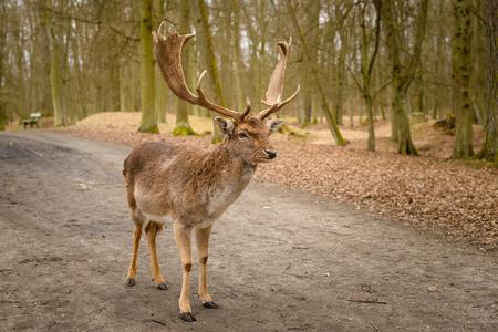 Fallow deer - Dama dama, alone in park, early spring