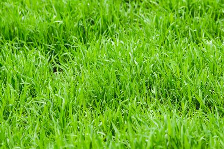 Fresh grass with water drops, morning meadow