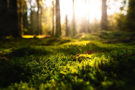 Morning sunshine in forest, Closeup of moss