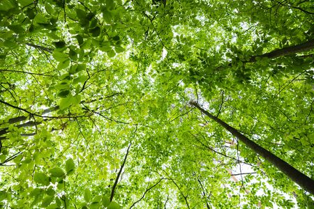 Fresh spring forest, bottom view to top of trees, green leaves Banco de Imagens