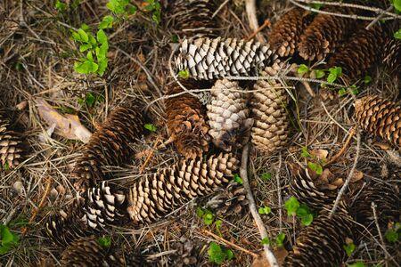 Spruce Cones lie on ground, spring forest still life 版權商用圖片