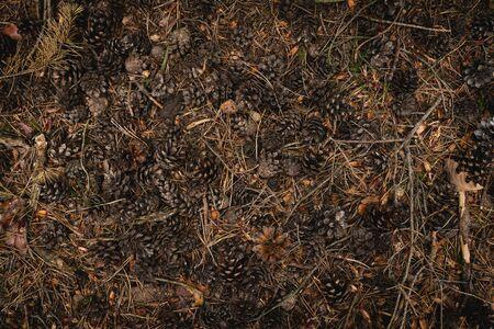 Pine Cones lie on ground, spring forest still life