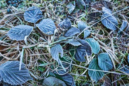 Hoarfrost on leaves, cold morning on forest ground
