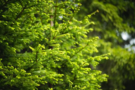 Young needles growing on tree, fresh green in spring time Banco de Imagens