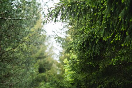 View through coniferous trees, fresh forest in spring time Banco de Imagens
