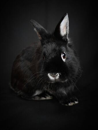 Cute Black and White Rabbit Isolated on a Black Background Reklamní fotografie