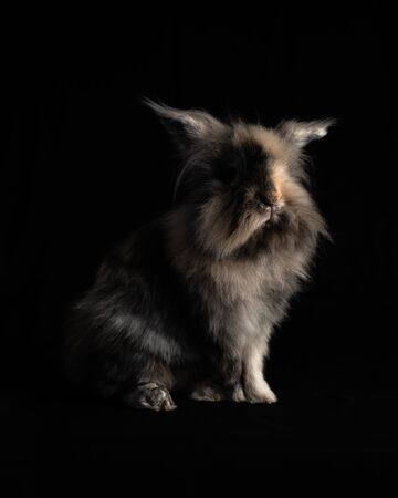 Portrait of a Lionhead Rabbit Isolated on a Black Background