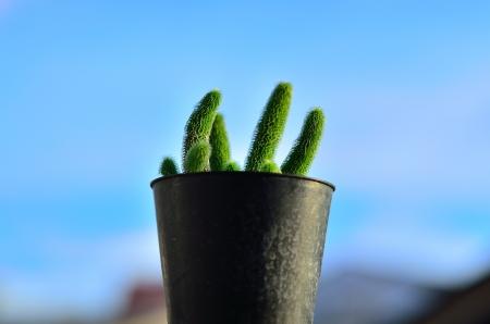 cactus en el bote negro