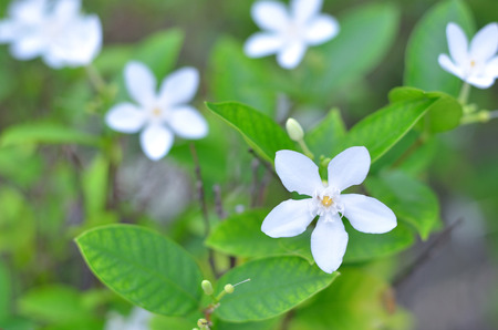 five petals: close up white flower five petals