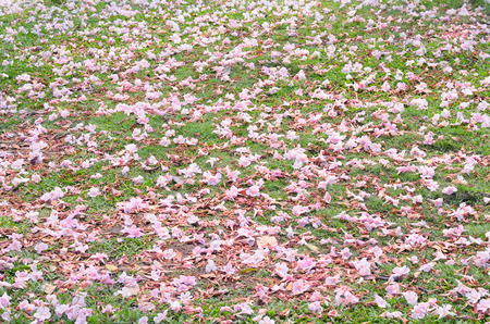 pink trumpet shrub fall on the grass