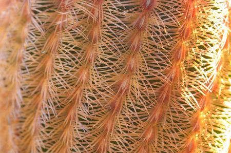 cerrar espinas de Echinocereus rigidissimus