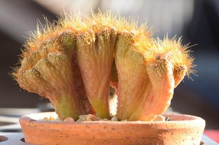 cereus: single cereus sp. cristata in a pot