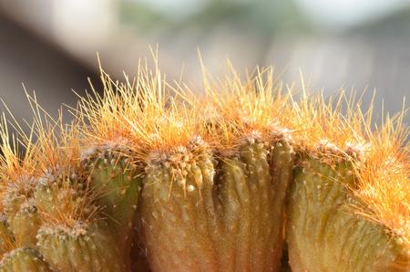 cereus: close up cereus sp. cristata Stock Photo