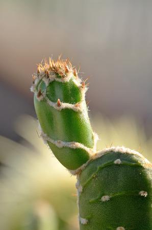 reticulata: close up cactus, Opuntia zebrina dillenii reticulata