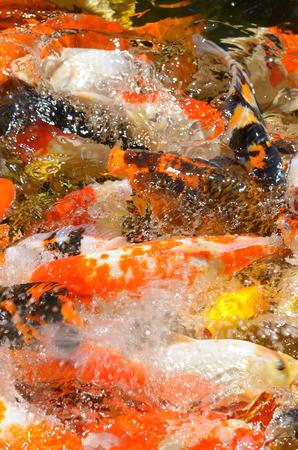 carpa de pescado de lujo de comer alimentos en un estanque