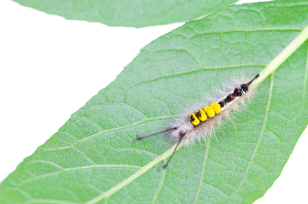 hairy caterpillar crawling on leaves