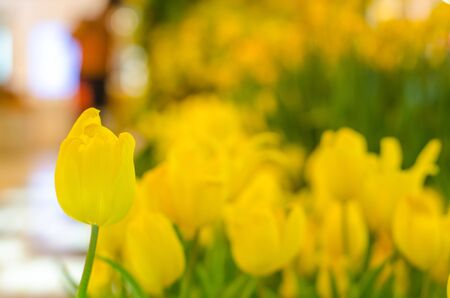 close up yellow tulip and bokeh background 写真素材