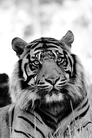 Black and white portrait of tiger. photo