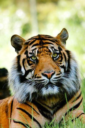 Colour portrait of tiger.
