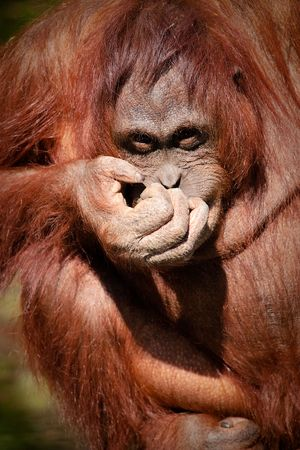 looking towards camera: Orangutan giggling - looking towards camera Colour