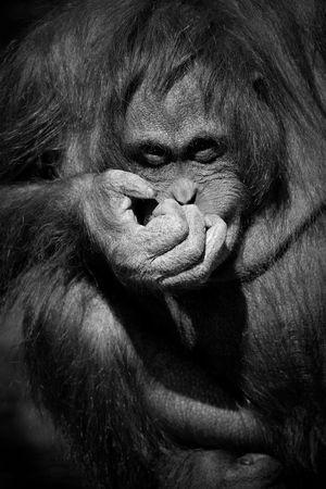 primitivism: Orangutan giggling - looking towards camera B&W