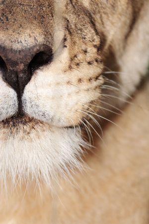 Closeup of lioness mouth photo