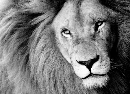 south africa nature: Close up of Male Lion, B&W