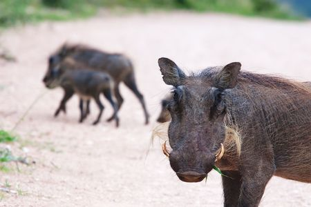 Mother warthog in the foreground with babies in background photo