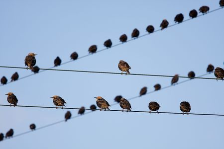 telegraphs: Birds on telephone lines, gathered in large groups Stock Photo