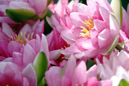 pink lotus flowers in a vase Banque d'images