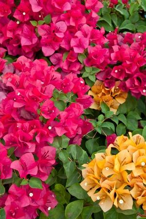 mulit-color bungainvillea paper flower in the morning Archivio Fotografico
