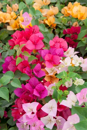 beautiful multi-colored bougainvillea paper flowers Stock Photo