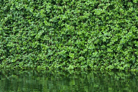 many leafs of ivy cover a wall in bangkok photo