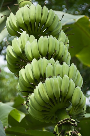 Green organic cultivated bananas bunch on a tree in my backyard photo